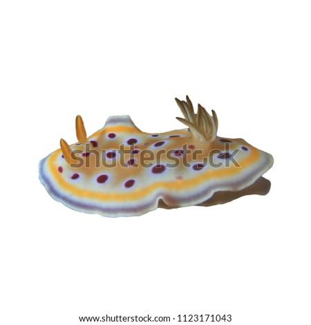 Nudibranch chromodoris sea slug isolated on white background - Shutterstock ID 1123171043