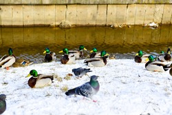 Numerous ducks and pigeons walk along the snow-covered shore. The birds are waiting to be fed. The river flows through the city canal.