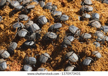 Numerous dung beetles are fed with rhinoceros dung. Dung beetles photographed in Namibia.