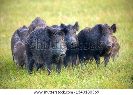 Numerous herd of wild animals in nature. Wild boars, sus scrofa, on a meadow wet from dew. Nature early in the morning with moisture covered grass. Mammals in wilderness. #1340180369