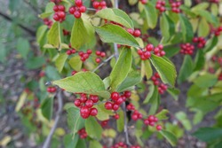 Numerous red berries in the leafage of Lonicera maackii in October