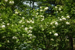 Numerous white flowers in the leafage of Viburnum opulus sterile in mid May