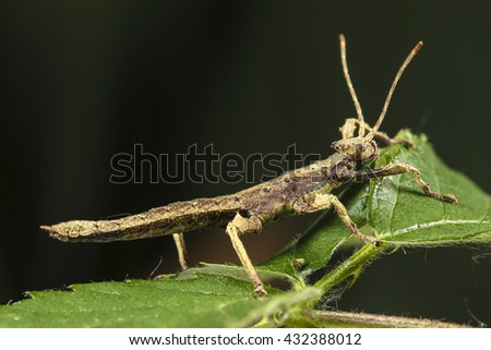 Numph of Heteropteryx dilatata Malaysian Stick Insect #432388012