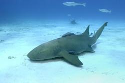 Nurse Shark (Ginglymostoma cirratum) at Bimini, Bahamas