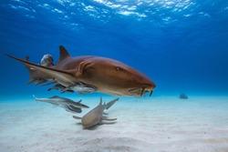 Nurse shark in caribbean sea