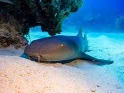 Nurse shark resting on the sea floor