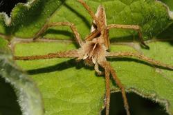 Nursery web spider (Pisaura mirabilis) on a leaf