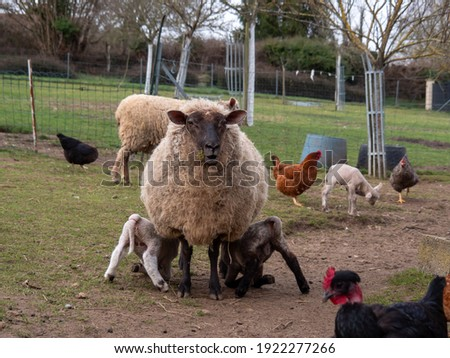 nursing mother and little adorable lambs gambolling in the meadow on the farm, symbol of Easter Stock fotó ©