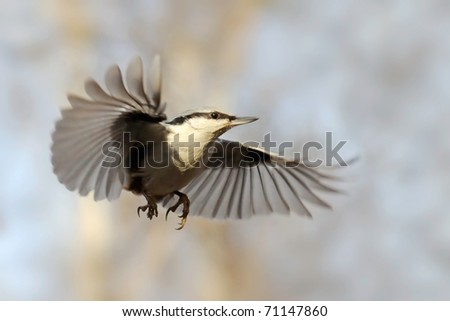 Nuthatch as skydiver/Shortly suspended swift flight of nuthatch
