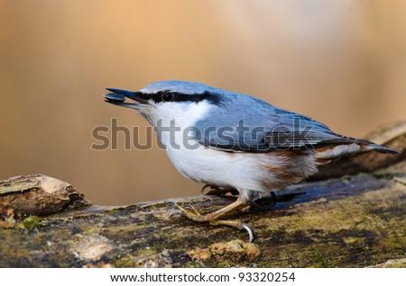 Nuthatch Sitta Europaea (sittidae)