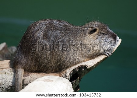 Nutria by the river.