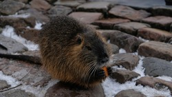 Nutria eats carrots. Chewing nutria (river rat or coypu, Myocastor coypus) at Vltava riverbank in Prague. Local people usually feed wild coypu by vegetables. Nutria sits on paving stones in the snow.