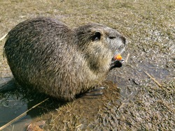 Nutria or myocastor coypus, also known as nutria. It is a large herbivore that lives on the banks of rivers, feeding on roots and tubers that it finds in the surrounding areas.