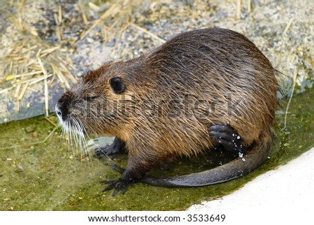 Nutria Rat in the water eating