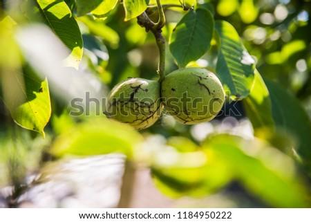 Nuts on the tree Zdjęcia stock ©