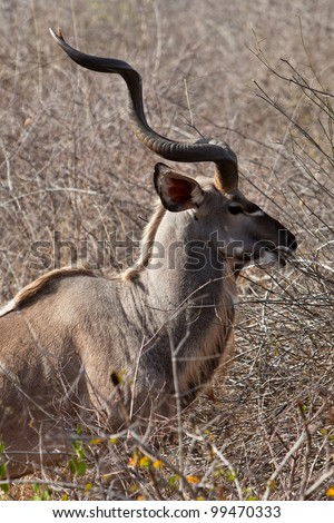 Nyala antelope standing in the bushes in South Africa