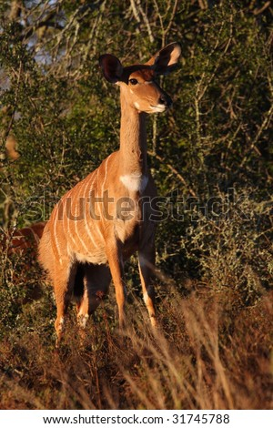 Nyala looking for her baby