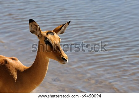 nyala standing in the water