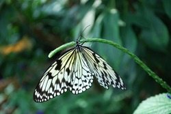 Nymph Butterfly, Butterfly Conservatory at Niagara Falls, Canada