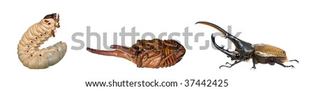 Nymph, larva and adulte of a male Hercules beetle, Dynastes hercules, studio shot
