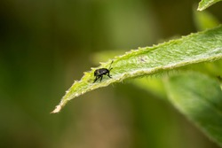 Nymph of common green shield bug Palomena prasina order Hemiptera often called green stink bug stock photo image