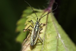 nymph of the meadow plant bug  (Leptopterna dolobrata) on a leaf
