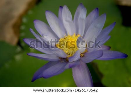 Nymphaea gigantia 'Albert de Lestang'Albert de Lestang.White lotus flowers have many layers of petals. The petals are wavy before the end of the petals. The petals end is blue-purple. #1426173542