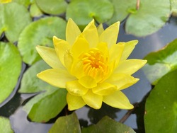Nymphaea mexicana is a species of aquatic plant that is native to the Southern United States and Mexico. Common names include yellow waterlily, Mexican waterlily