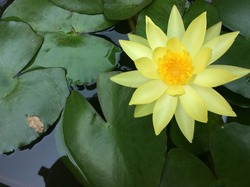 Nymphaea mexicana, is a species of aquatic plant that is native to the Southern United States and Mexico. Common names include yellow waterlily, Mexican waterlily and banana waterlily.