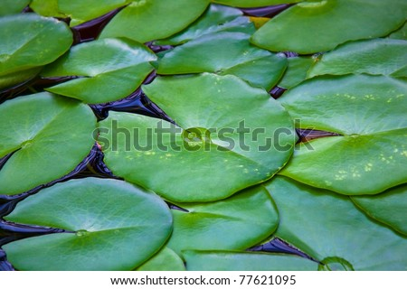 Nymphea leaves on the surface of the water
