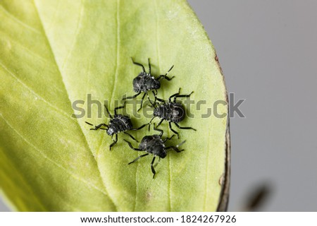 Photo of  Nymphs of brown marmorated stink bugs, Halyomorpha halys, on a bean leaf.
