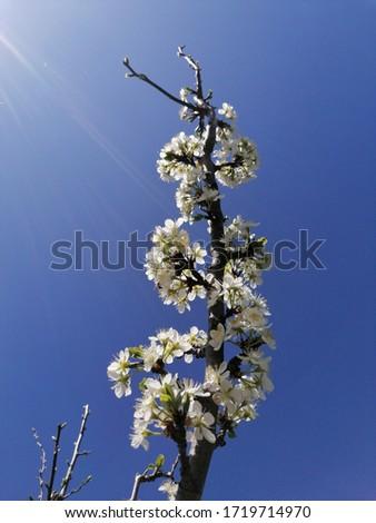 O ramură încărcată cu flori de primăvară pe fundalul cerului albastru. Imagine de stoc ©