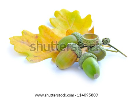 Oak acorns with leaves on a white background