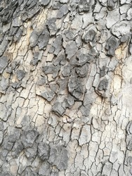 Oak bark. Close-up photo of natural texture similar to dry soil with fissures and cracks.
