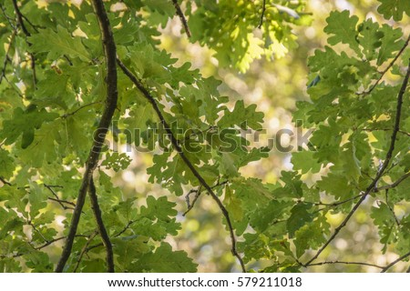 Oak Branch, illuminated by the sun with a bright green foliage #579211018
