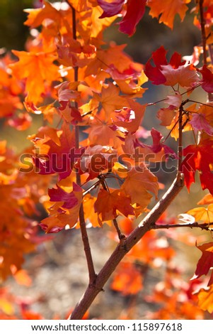 Oak Branch with Colorful Leaves