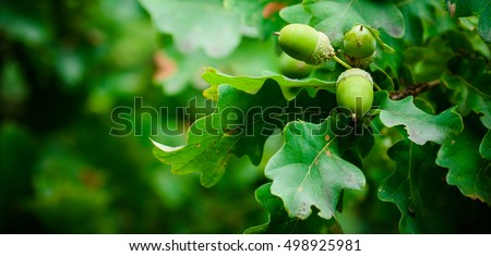Oak branch with green leaves and acorns on a sunny day. Oak tree in summer. Blurred leaf background. Closeup. #498925981