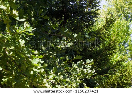 oak branches, coniferous branches and birch branches in the sun #1150237421