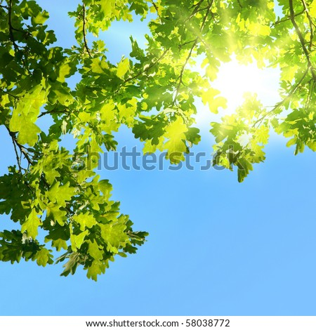 Oak branches shined with the sun
