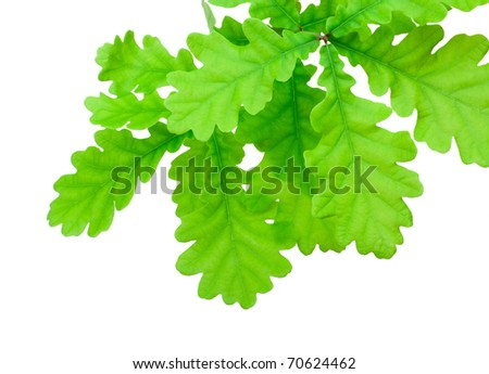 Oak green branch on white background