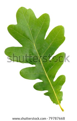 Oak green leaf isolated on white background