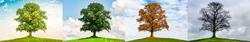 Oak in four Seasons