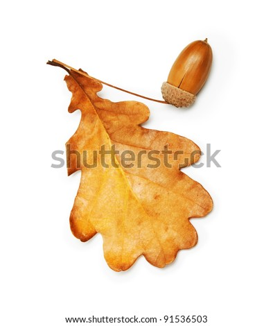 oak leaf and acorn on white background