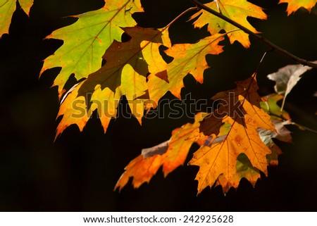Oak leaf - Autumn -Herfstblad Stockfoto ©