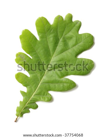 Oak leaf isolated on white background (macro)