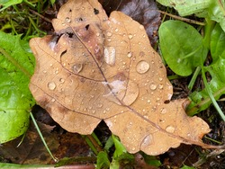 oak leaf with drop of wather