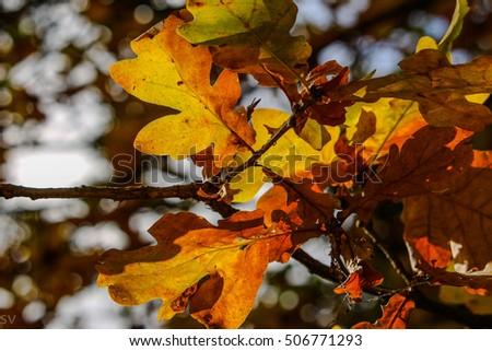 oak leaves #506771293