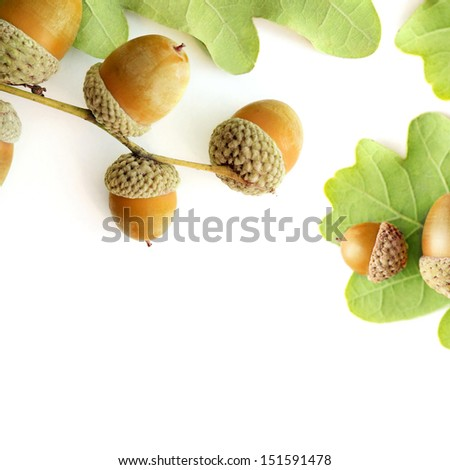 oak leaves and acorn on white background