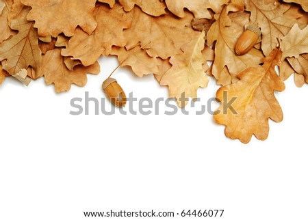 oak leaves and acorns on white background
