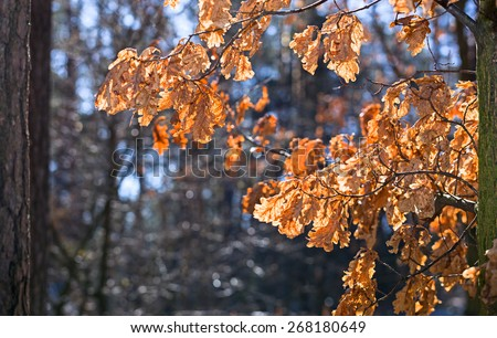 Oak leaves in sunlight.\ The spring sun lights up the forest. Oak leaves lit by bright sunlight.